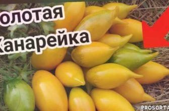 узкие грядки, томаты от колекционера, желтые томаты, алена шатковская, томатные грядки, золотая канарейка, помидор, томат