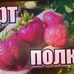 Крупноплодная земляника (клубника). Сорт ПОЛКА (ПОЛЬКА)/ Обзор-Отзыв/ #клубника #strawberry #огород