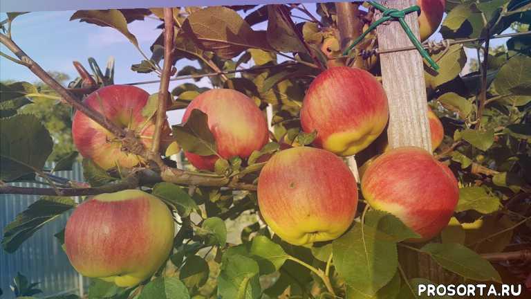 максим гаранжа, черенки, сорт яблок пирос, яблоневый сад, уход за садом, обработка яблонь, уход за яблоней, сорта яблонь
