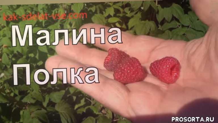 журнал как сделать все самому, ягодные растения, ягода малина, малина, лучшие сорта малины, хорошая малина, малина полька, урожайность малины полка