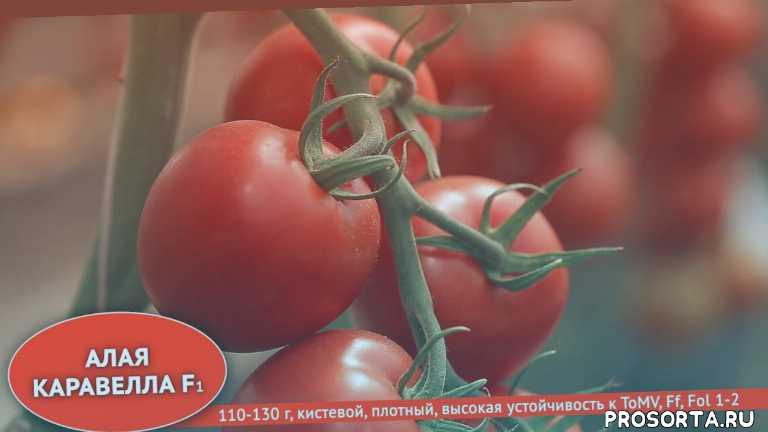 сорта и гибриды томатов для профессионалов, лучшие сорта и гибриды томатов для профессионалов, агрохолдинг поиск, помидоры, лучшие сорта томатов, бизон оранжевый, бизон черный, серия вкуснотека