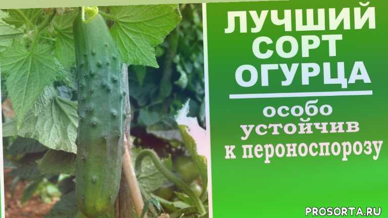 любимая усадьба, как выбрать семена огурцов, семена огурцов, как сажать огурцы, посадка, в теплице, в открытом грунте, какие огурцы посадить