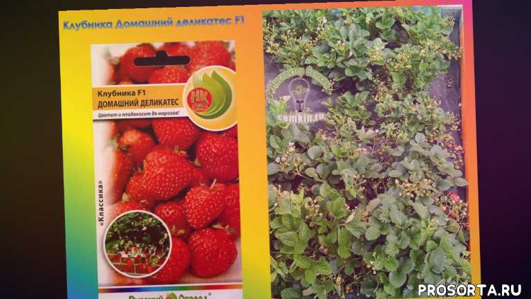 ремонтантная клубника, сорта клубники, ягоды, сад, дача