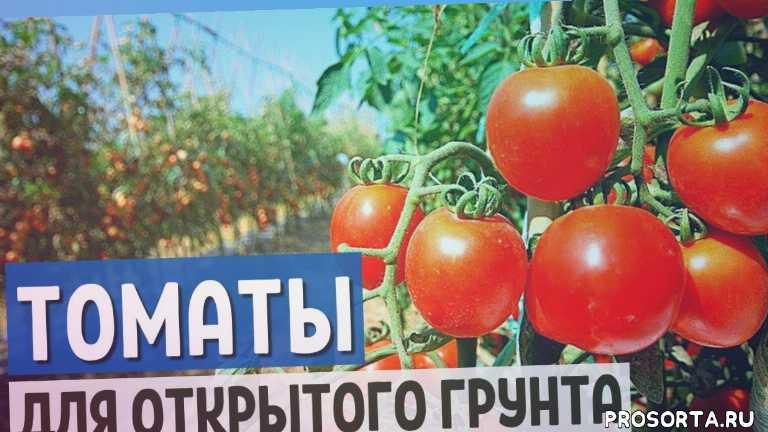 сад, выращивание помидоров в открытом грунте, лучшие сорта томатов для открытого грунта, высокорослые помидоры, томатов, томаты для открытого грунта, урожай помидор, томаты 2020