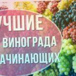 Лучшие сорта винограда для начинающих виноградарей. Какой виноград посадить