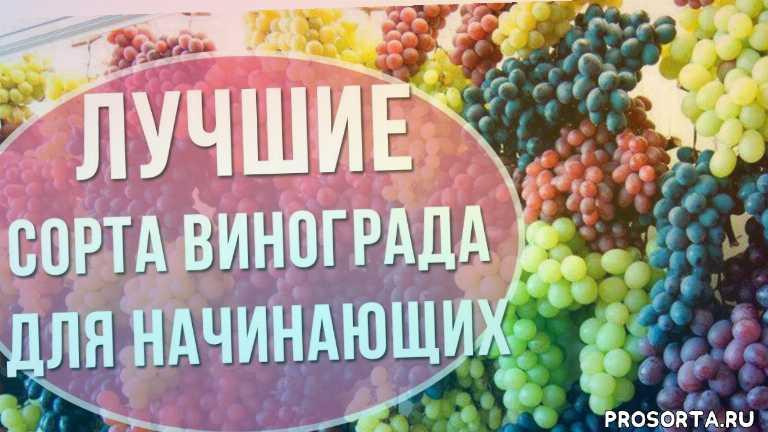 удачный участок, какой виноград лучше посадить, неприхотливый виноград, виноград, зимостойкие сорта винограда, сорт винограда для посадки, советы новичкам, виноград для начинающих