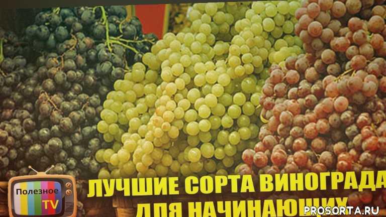 лучшие сорта винограда для начинающих, какой сорт винограда лучше, советы начинющим виноградарям, советы виноградарям, советы новичкам, лучший виноград, редкие сорта винограда, самые лучшие сорта винограда