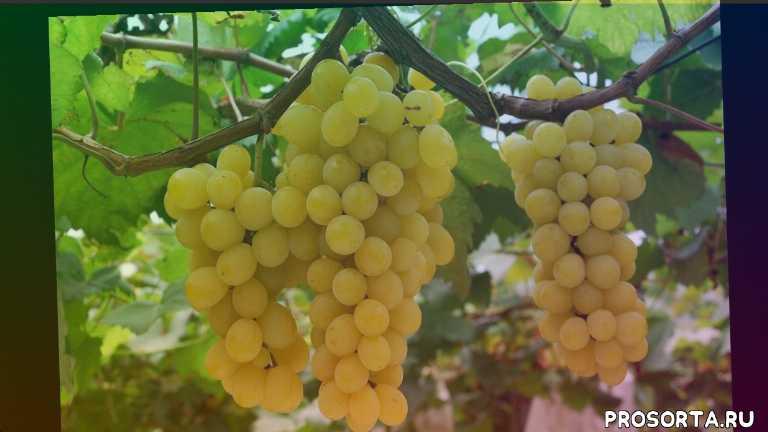 сорт винограда подарок ирине, сорт винограда байконур, сорт виноградагурман ранний, сорт винограда виктория, выращивание винограда, сорт руслан, сорт румба, кишмиш