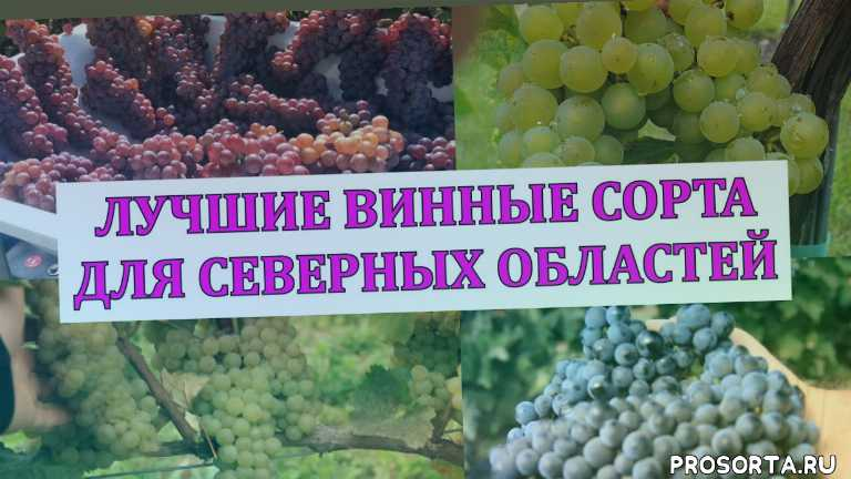 сад, тех сорта виноград, винный виноград, виноград на вино, топ винных сортов, аватар виноград, привитые саженцы, саженцы