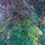 "Малина-дерево ""крепыш""весной."