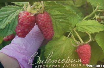 агрофирма виктория пермь, агрофирма виктория, питомник растений, питомник саженцев, саженцы почтой, купить саженцы, саженцы, сорта малины