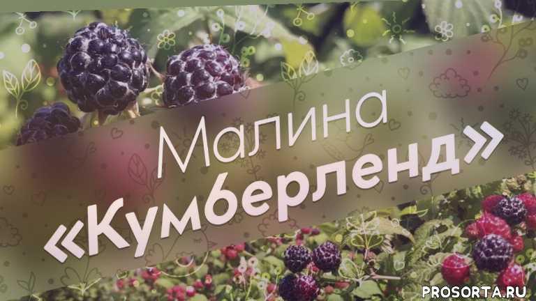 кумберленд, чёрная малина, урожай, плоды, уход, растения, обзор, сорт