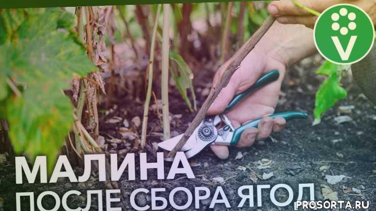 дача, уход за малиной после сбора урожая, procvetok, процветок, малина сохнет, чем подкормить малину, малина лечение, когда обрезать малину