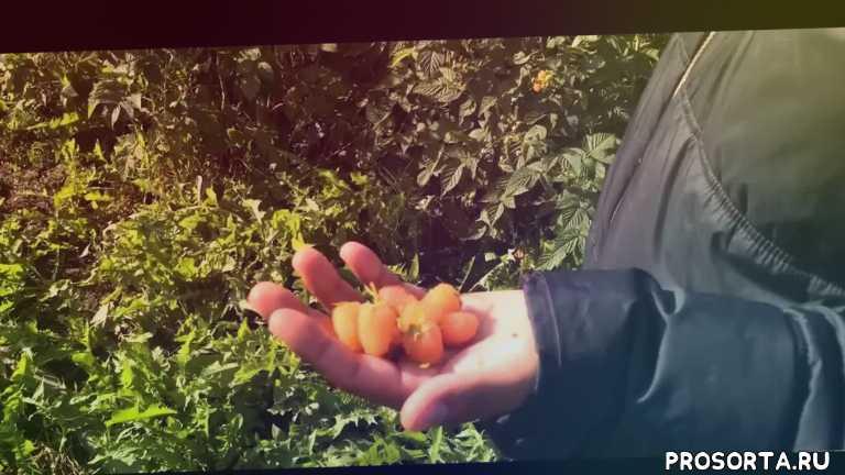 описание, кращі, сорта яблук для украины, сорта малиніы видео, малины, опис сортів яблук, отзывы, сорта
