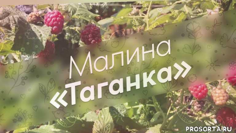 таганка, урожай, плоды, уход, растения, обзор, сорт, малина