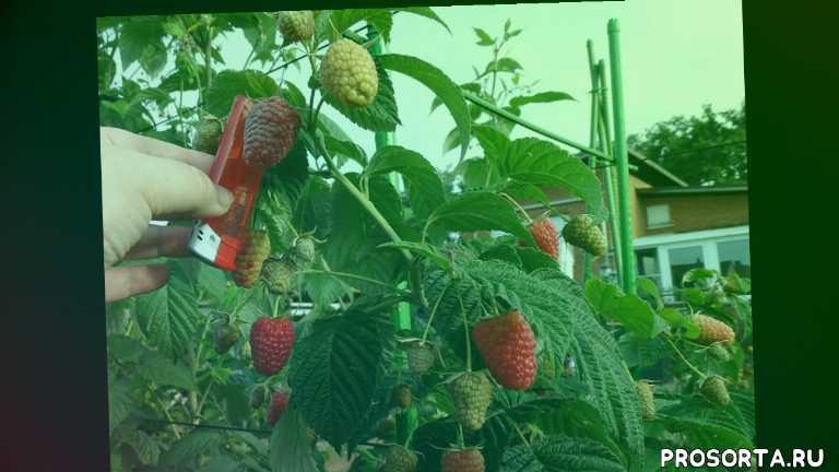 фрукты, ягоды, сад, урожай малины, урожай, огород, малина зюгана, ремонтантная малина