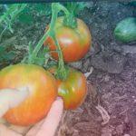 Мои томаты .  Интересный сорт  .