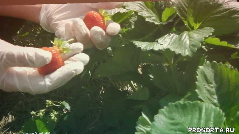 самая сладкая земляника, самая сладкая клубника, земляника моллинг столетие, клубника моллинг столетие, моллинг столетие, огород, сад, земляника
