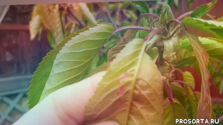 #монилиозвишни#скрученныелистьяначерешне#        Монилиоз, помощь вишне... скручиваются листья на ч