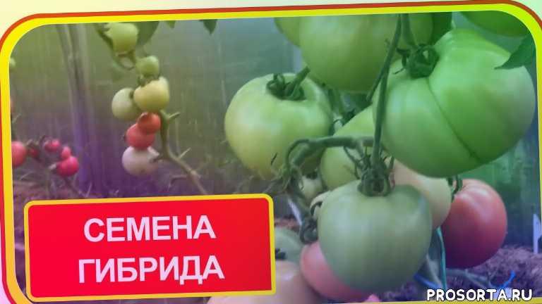 дом в деревне, семья в деревне, жизнь в деревне, в деревню, в деревне в подмосковье, свои семена томатов, помидоры на семена, семена из помидор