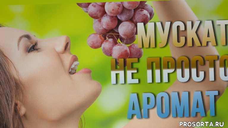 мускат, сорта для дачи, удачный участок, ранние мускатные сорта винограда, мускатные сорта винограда в украине, сорта винограда с мускатом, виноград, сорта винограда