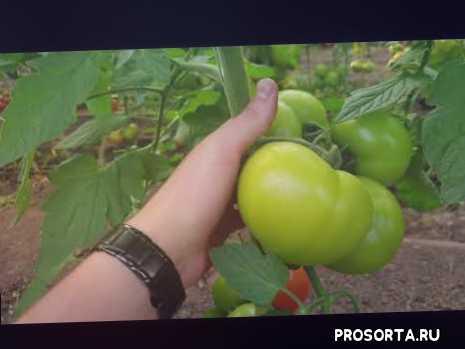 уражайный, что посадить, нада, красный томат, красный, биф томат, томат