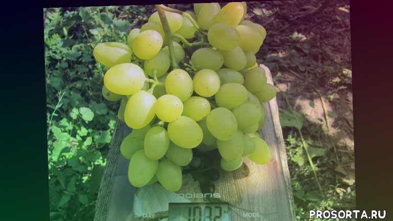 сорта винограда проверенные временем., кодрянка, надежда азос, лора, аркадия, надежные, урожайные сорта винограда