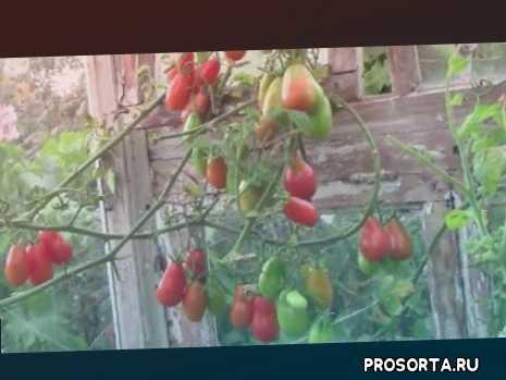 лучшие сорта помидоров грушевидные, грушевидные красные, самые проверенные сорта помидоров, самые урожайные грушевидные помидоры, грушевидные помидоры, неприхотливые помидоры грушевидные