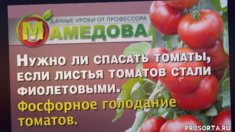 фосфорное голодание томатов, фиолетовый листья у томатов, фиолетовый лист у рассады томатов, как спасти томаты от заморозков, рассада томатов, рассада покраснела, чем подкормить томаты, недостаток фосфора