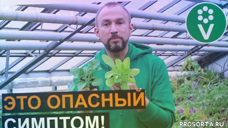 азот, дефицит азота, азот для растений, нехватка азота, азотное голодание, желтеют листья у томатов, почему желтеют огурцы, у рассады желтеют листья что делать