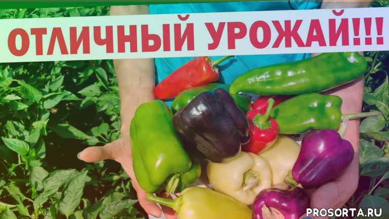 лучший перец, неприхотливый перец, урожай перца, перец красный великан, перец буратино, перец черный конь, перец гасконец, перец лимонное чудо