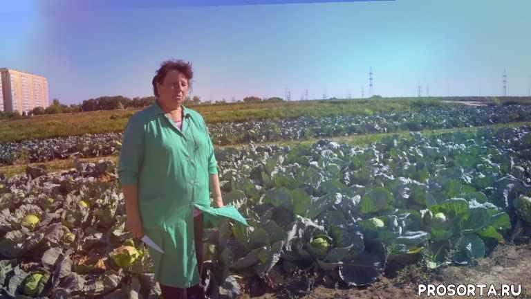 крестоцветные, овощи, фгну фнцо, фнцо, внииссок, капуста от внииссок, отечественый сорт, отечественная капуста