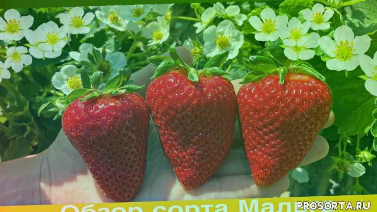 супер клубника, земляника, как заработать миллион, клубничный бизнес, полив клубники, sweet strawberry, garden, strawberry