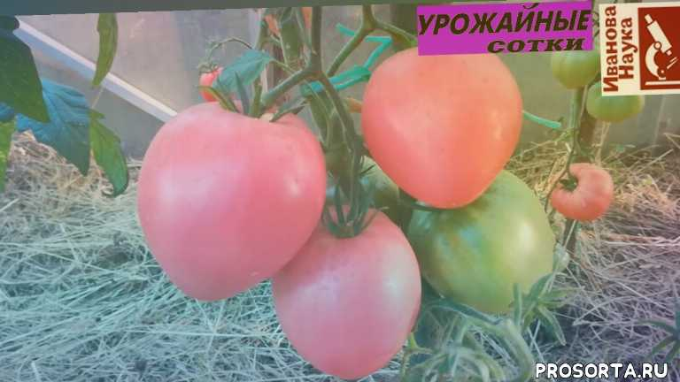 урожайные сотки, иванова, иванова наука, иван русских, сотки, урожайные, прцветок, коллекции.