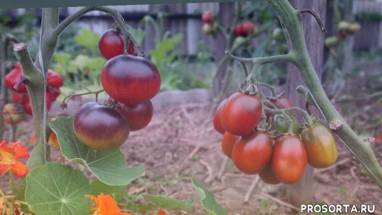 наталья камалеева, семена томатов самые урожайные сорта, семена томатов тепличных сортов, помидоры семена лучшие сорта отзывы для теплицы, сорта томатов, как подкормить томаты, выращивание томатов, урожай томатов