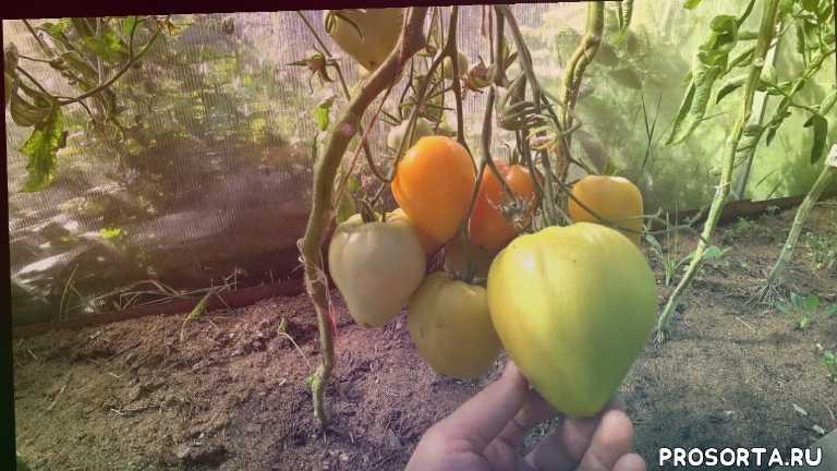 томат, помидоры, томаты, урожай помидоров, урожай томатов, томаты секреты успеха, томаты секреты выращивания, секреты выращивания томатов