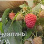 Один из лучших сортов малины!!!Ремонтантный сорт малины АМИРА. Урожайный и вкусный.