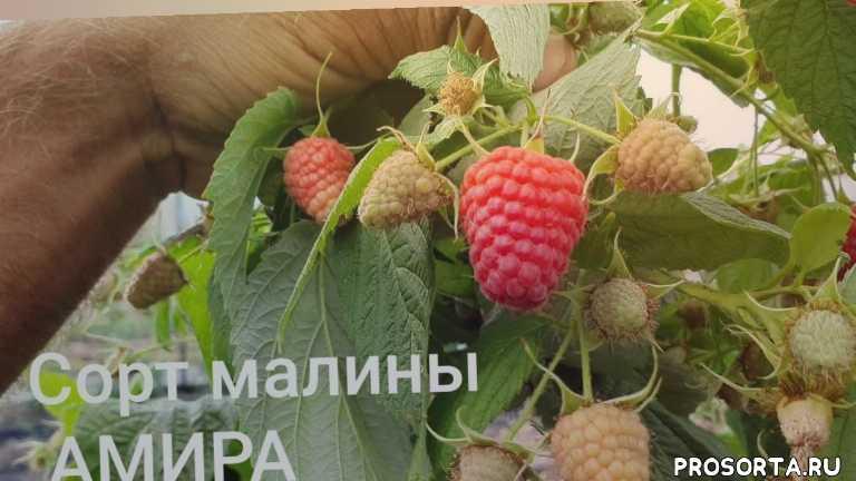 купить малину в краснодаре, купить саженцы сорта амира в россии, плодоношение сорта амира, ремонтантные сладкие сорта малины, самые сладкие сорта малины, сладкие ремонтантные сорта малины, ремонтантные сорта малины, выращивание малины