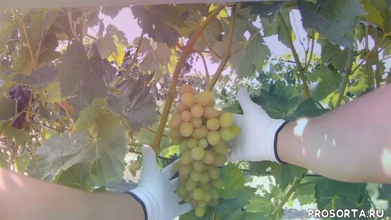 ромбик, виноград софия, полонез, болезни винограда, выращивание винограда, уход за виноградом, ультраранние сорта винограда, виноград ранних сортов описание сорта фото