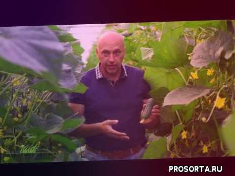 професійне насіння, добрива, закрытый грунт, теплица, удобрения, выращивание огурцов, врожай, закритий ґрунт
