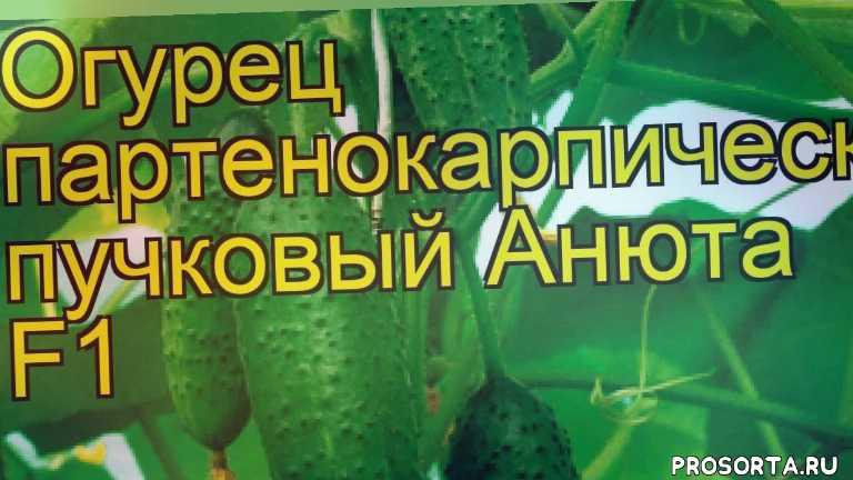 огурец анюта какие растения сажают рядом, огурец анюта посадка и уход, огурец анюта уход, огурец анюта посадка, огурец анюта отзывы, где купить семена огурец анюта, купить семена огурца анюта, семена огурец анюта