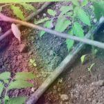 Огурец Бьёрн, новый для меня способ подвязки, очень быстрый