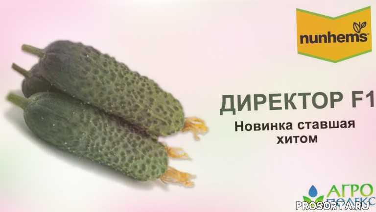 семена огурцов директор, агрополекс, выращивание огурцов, нунемс огурцы, семена огурцов нунемс, директор f1, огурец директор