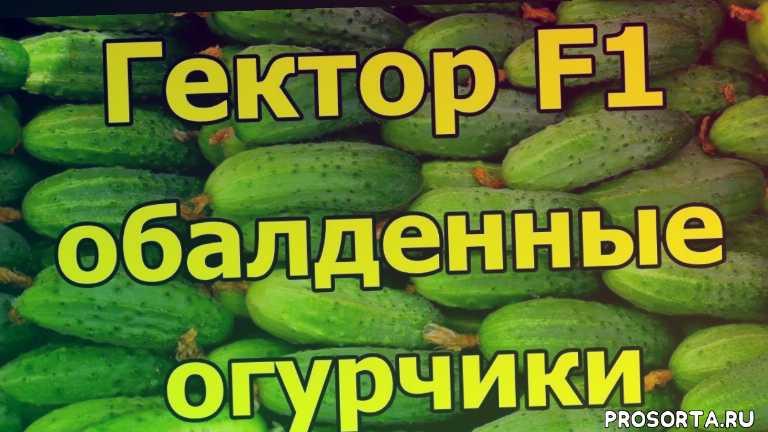 огурец гектор f1 описание отзывы, огурец гектор f1 описание, гибрид огурца, урожайные огурцы, гибриды огурцов, выращивание огурцов, лучшие сорта огурцов, огурец гектор f1