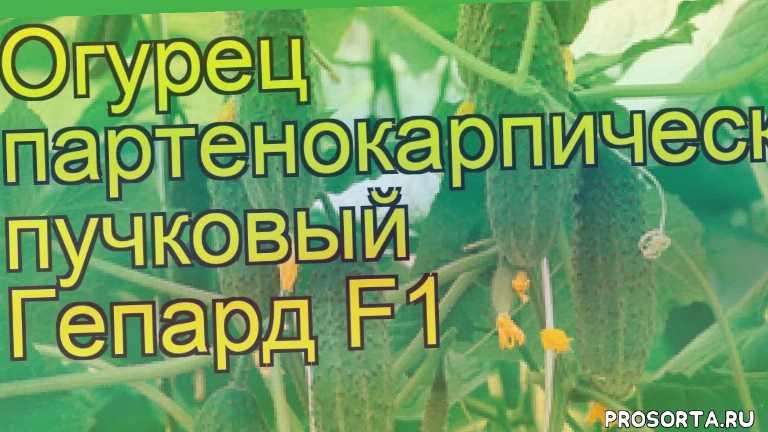 огурец гепард f1 какие растения сажают рядом, огурец гепард f1 посадка и уход, огурец гепард f1 уход, огурец гепард f1 посадка, огурец гепард f1 отзывы, где купить семена огурец гепард f1, купить семена огурца гепард f1, семена огурец гепард f1