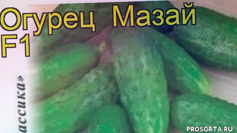 огурец мазай f1 какие растения сажают рядом, огурец мазай f1 посадка и уход, огурец мазай f1 уход, огурец мазай f1 посадка, огурец мазай f1 отзывы, где купить семена огурец мазай f1, купить семена огурца мазай f1, семена огурец мазай f1