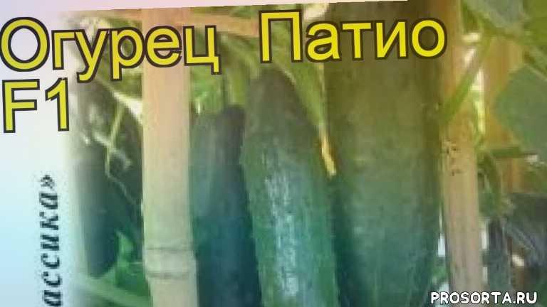 огурец патио f1 какие растения сажают рядом, огурец патио f1 посадка и уход, огурец патио f1 уход, огурец патио f1 посадка, огурец патио f1 отзывы, где купить семена огурец патио f1, купить семена огурца патио f1, семена огурец патио f1