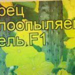 Огурец Шмель (Огурец). Краткий обзор, описание характеристик, где купить семена cucumis sativus