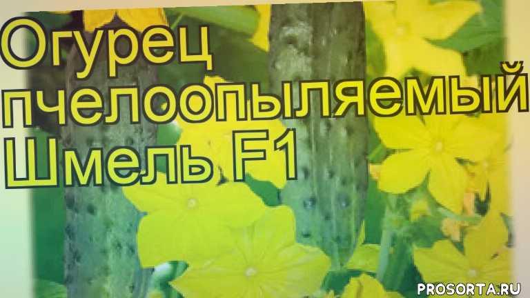 огурец шмель какие растения сажают рядом, огурец шмель посадка и уход, огурец шмель уход, огурец шмель посадка, огурец шмель отзывы, где купить семена огурец шмель, купить семена огурца шмель, семена огурец шмель