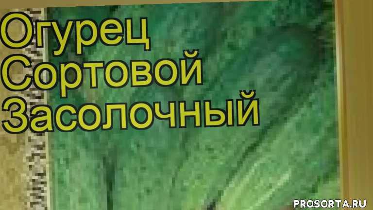огурец сортовой засолочный уход, огурец сортовой засолочный посадка, огурец сортовой засолочный отзывы, где купить семена огурец сортовой засолочный, купить семена огурца засолочный, семена огурец сортовой засолочный, видео огурец сортовой засолочный, огурец сортовой засолочный описание характеристик